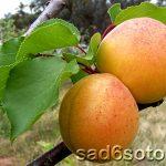 10996 Зимостойкие сорта и формы абрикоса для выращивания в Подмосковье и северных регионах