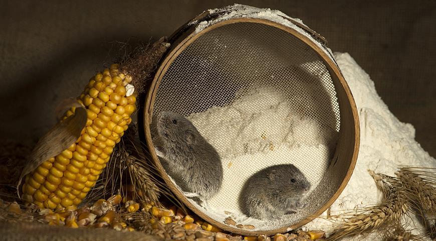 11079 Как бороться с мышами в дачном доме: народные и готовые специальные средства