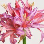 11051 Луковичные растения дома: нерине или цветок нимф