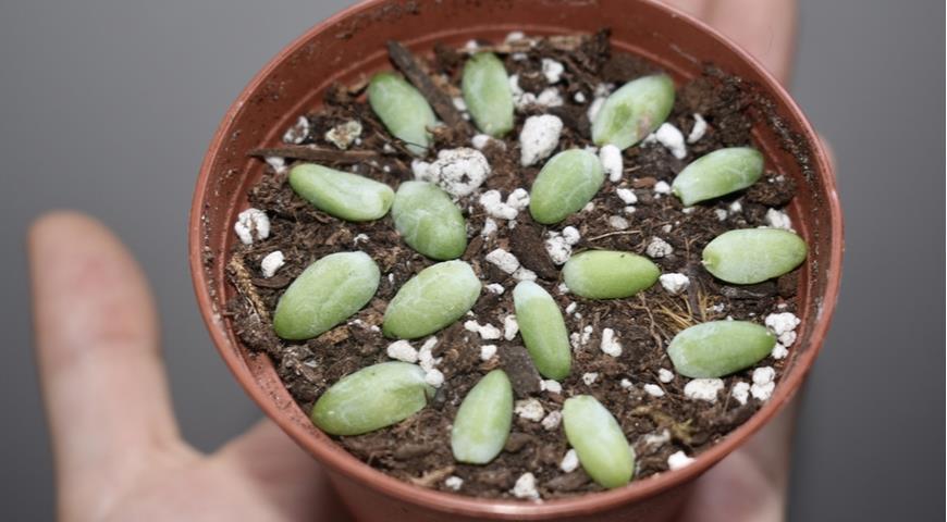 11036 Проще пареной репы: как быстро и просто размножать красивые комнатные растения