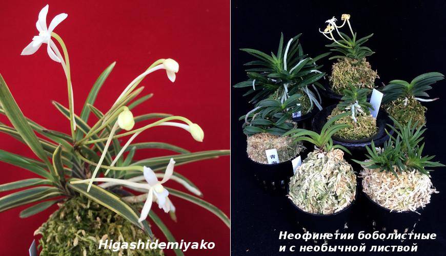 11115 Самая любимая японцами орхидея - неофинетия серповидная, или орхидея самураев
