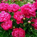 11070 Цветочный гороскоп на 13 - 22 ноября: ваш цветок - пион