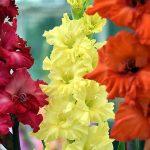 11095 Цветочный гороскоп на 23 ноября - 2 декабря: ваш цветок - гладиолус