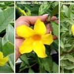 11207 9 редких красивоцветущих тропических растений для выращивания дома