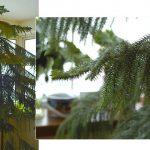 11170 Араукария - комнатная елка, самая долговечная и ЭКОлогичная замена новогодней елки