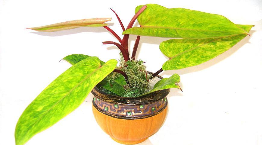 11144 Как правильно омолодить и размножить комнатные растения из представителей ароидных