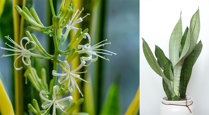 11138 Сансевьера, щучий хвост или тещин язык - самое неубиваемое растение для вашего дома