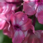 11239 Именной сад: сорта цветочных и садовых культур с именем Ольга
