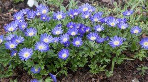 11267 Синие цветы: какие растения можно посадить в синий цветник? ТОП-25 цветов синего цвета