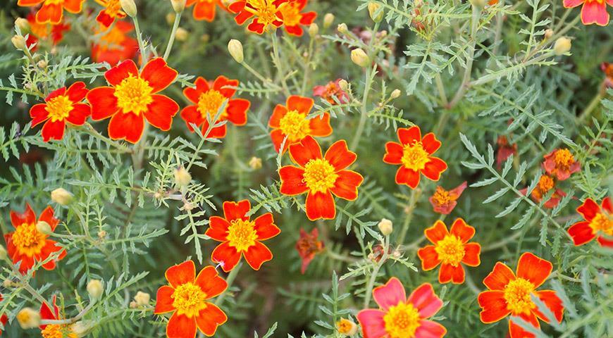 11374 8 видов бархатцев для посадки в цветник: популярные и редкие, красивые и вкусные