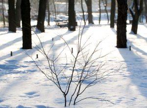 11368 Как защитить деревья от солнечных ожогов?