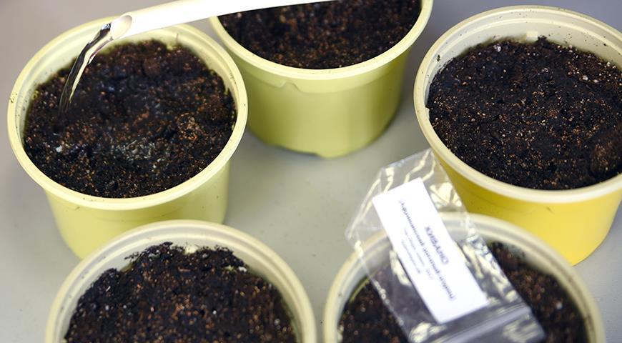 11328 Кивано - рогатая дыня: выращивание от посева на рассаду семян до сбора урожая