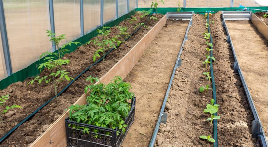 11309 Можно ли сажать помидоры и огурцы, и что можно сажать до и после помидоров
