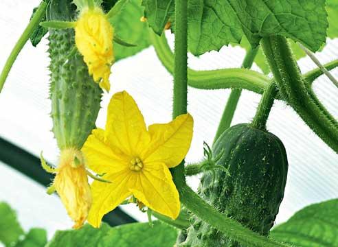 11426 Как вырастить огурцы на подоконнике: советы специалистов по выбору сорта и выращиванию