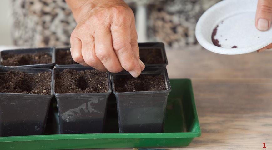 11415 Как вырастить рассаду капусты кольраби: мастер-класс советами