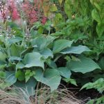 11454 Какие красивые хосты можно посадить на солнце: лучшие устойчивые сорта