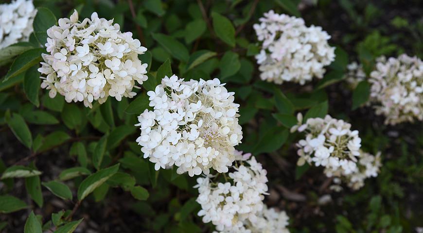 11445 Сорта гортензии метельчатой, самые красивые и устойчивые для посадки в саду