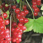 11471 Лучшие сорта красной смородины для посадки на дачу: личный опыт Ларисы Масловой