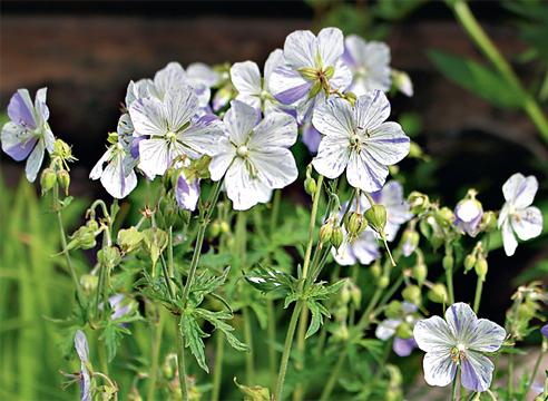 11459 Види і сорти садових герані: що посадити у себе на дачі?