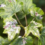 11492 Что делать, если на листьях появился серый налет, или как побороть мучнистую росу