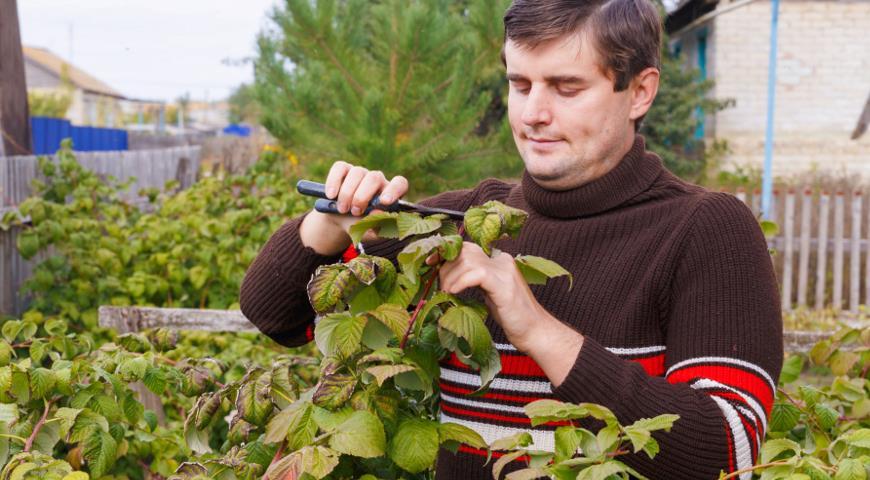 11483 Как ухаживать за малиной после уборки урожая