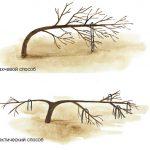 11495 Необычные способы формирования яблони: арктический и бахчевый