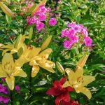 11520 Флокс метельчатый в цветнике: лучшие идеи и подбор растений