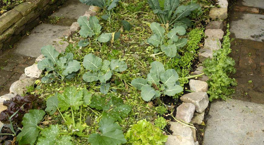 11555 Как правильно выбрать сидераты для посева на грядки: бобовые, крестоцветные и злаковые
