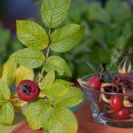 11517 Шиповник для нашего здоровья: самые витаминные виды и полезные рецепты