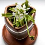 11543 Венерина мухоловка - загадочное и опасное растение-хищник, как вырастить ее в обычной квартире
