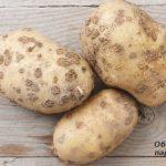 11636 Болезни картофеля: осматриваем клубни, определяем проблему и лечим, все проблемы с фото