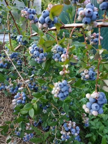 11597 Голубика садовая: мои секреты невероятных урожаев