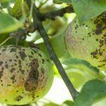 11642 Как определить и вылечить паршу на яблоне