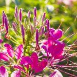 11624 Клеома - необычное растение паучок для вашего цветника: пора сеять под зиму