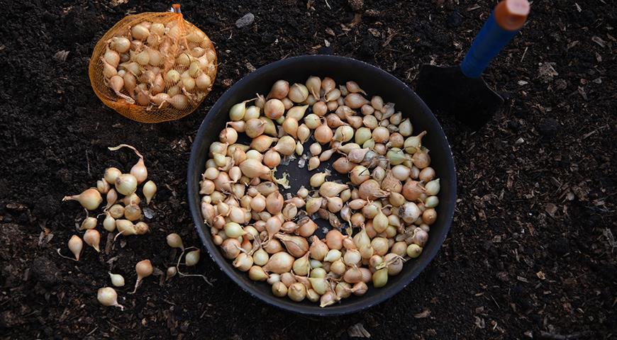 11630 Когда сажать лук и чеснок осенью по Лунному календарю 2021 года