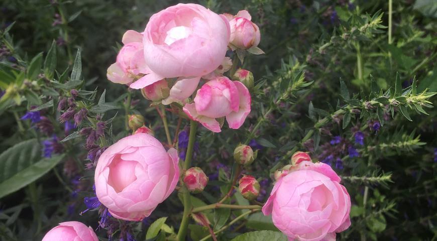 11657 Осенняя покупка роз: выбор саженца, посадка и хранение