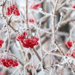 11651 Польза цветов, коры и ягод калины + 10 самых полезных рецептов с калиной красной