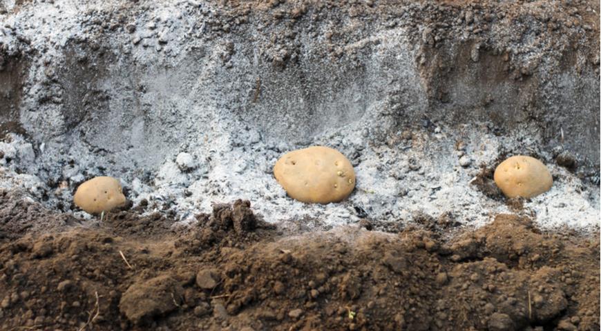 11666 Семенной картофель: как правильно отобрать и сохранить клубни картошки для весенней посадки