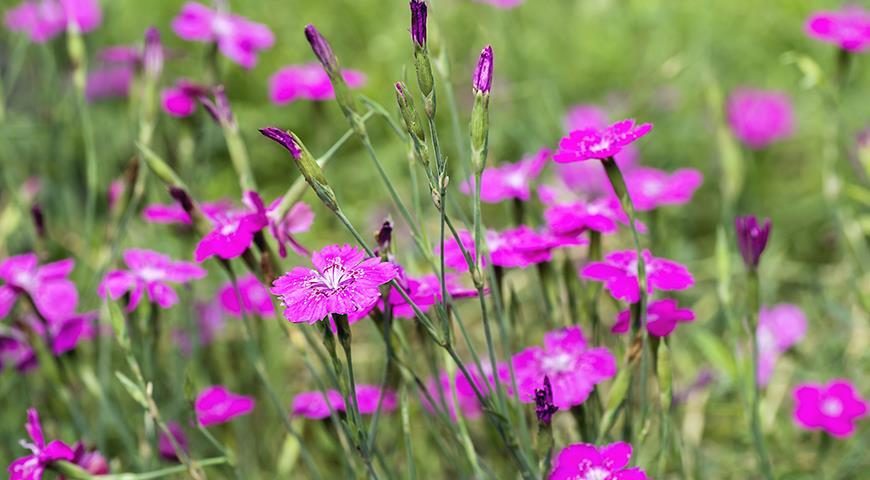 11594 Цветочный гороскоп на 3-11 сентября: ваш цветок гвоздика!