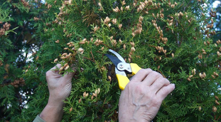 11585 Выращивание туи посевом семян осенью: полный мастер-класс с фото