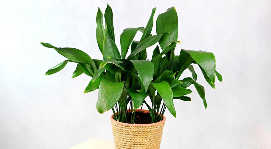 11704 Аспидистра, или дружная семейка - комнатное растение, популярное у флористов