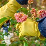 11717 Чем обработать розы осенью для защиты от болезней