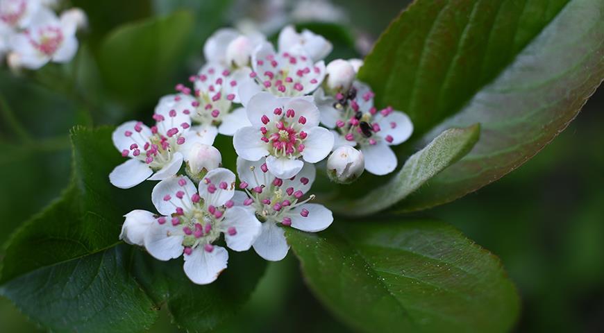 11720 Черноплодка, арония или черноплодная рябина - красива, полезна и абсолютно неприхотлива в культуре