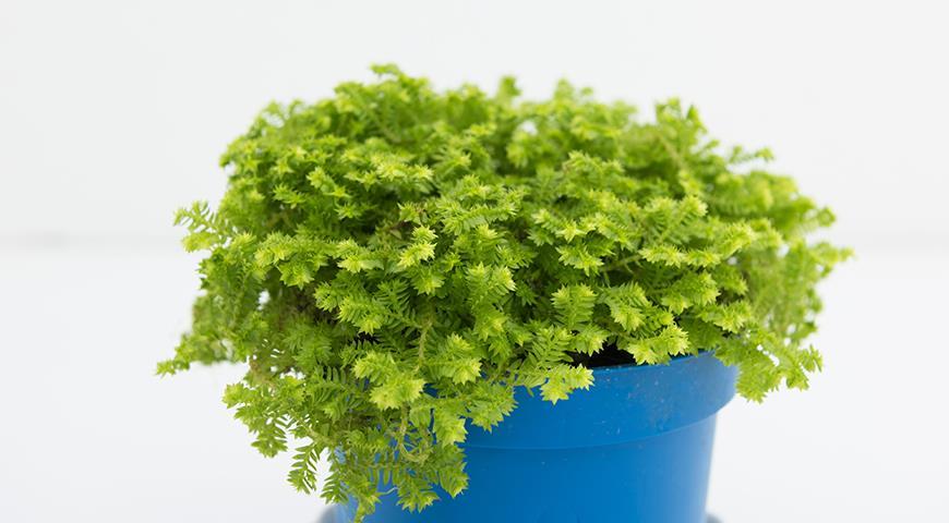 11723 Селагинелла, или воскресающее растение - чудо из мира растений, которое можно вырастить дома
